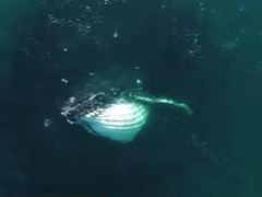 喷水数米 座头鲸频现加州海岸
